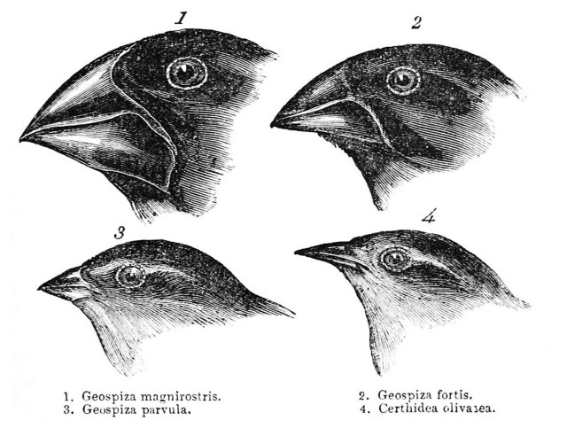 Darwin's_finches_by_Gould