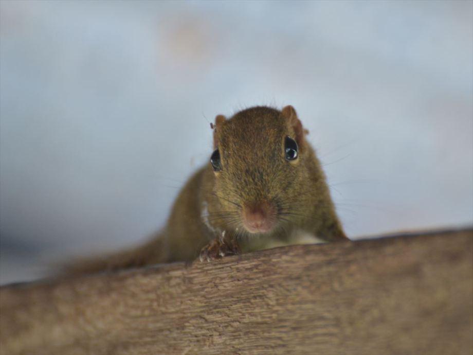 ボルネオコビトリス / Plain Pigmy Squirrel/ Exiliscius exilis at Dagat, Tabin, Borneo