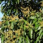マンゴーの花 Mango Flower at Dagat, Tabin, Borneo