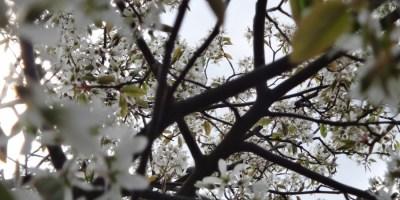 In einen Baum mit Blüten hinein fotografiert, dahinter die Sonne