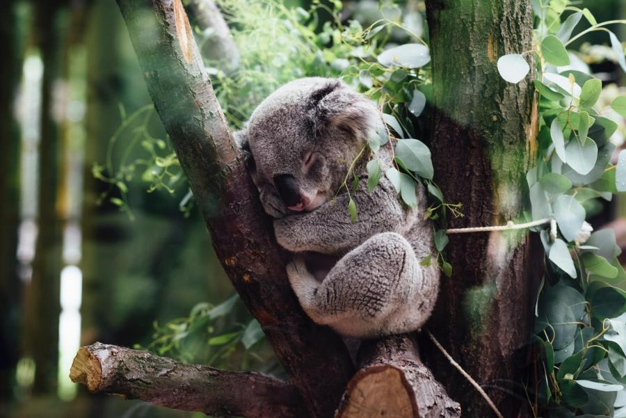 Koalas eat eucalyptus leaves from only 40 of the approximately 700 species available.