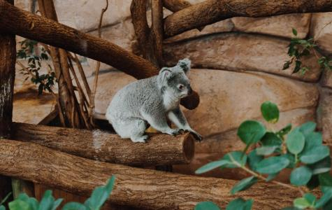 DEFORESTATION AND KOALA EXTINCTION: There's an economic cost too