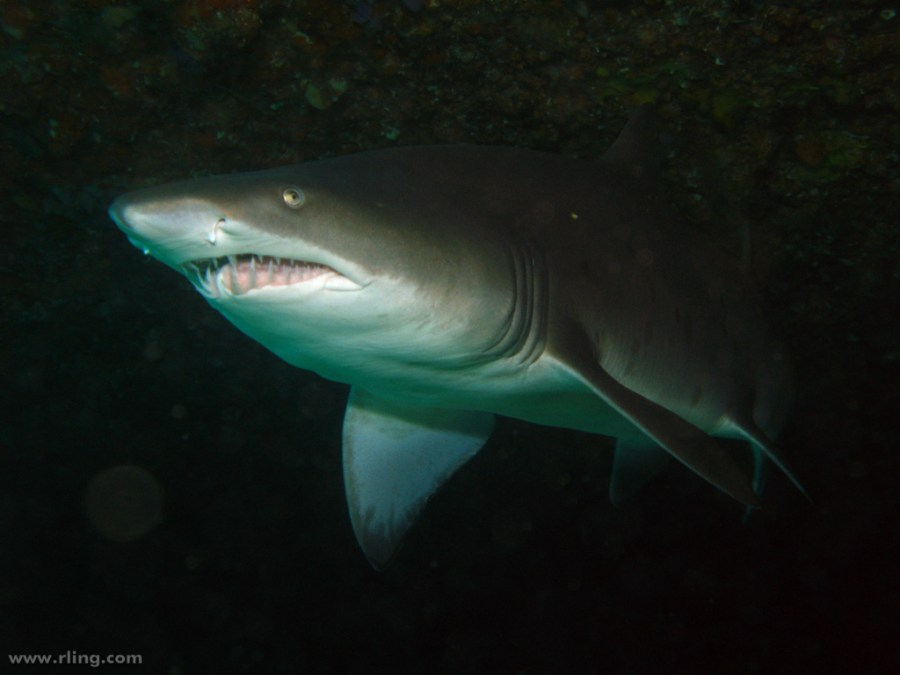 The+Sunshine+Coast%0Ais+expecting+the+winter+arrival+of+grey+nurse+sharks+off+Mooloolaba