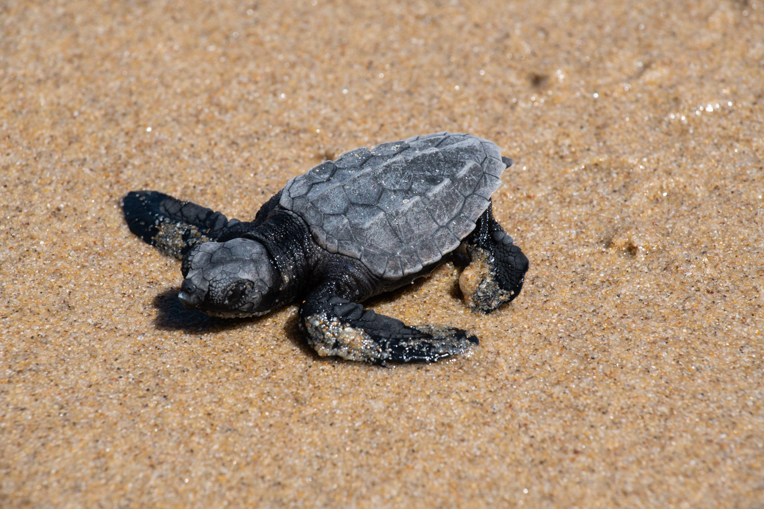 One of the out-of-season turtle hatchlings crossing the sand on Queensland's Sunshine Coast.