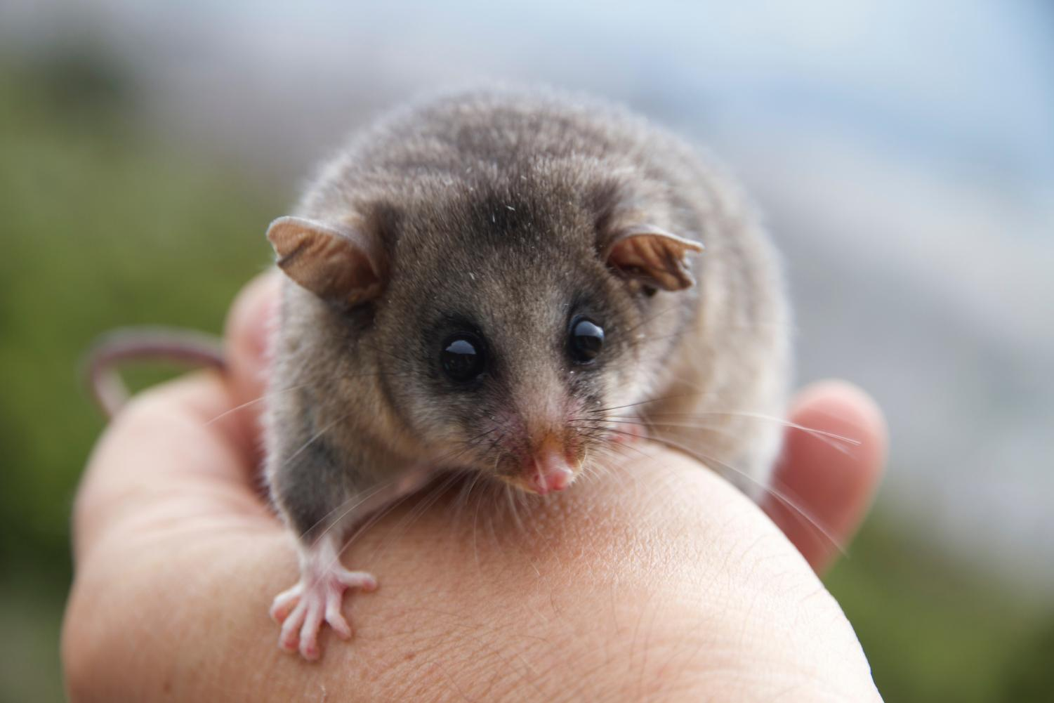 The critically endangered mountain pygmy-possum. Picture: Andrew Weeks