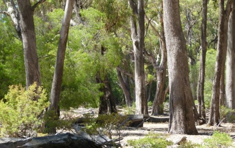 The Ludlow Tuart Forest is under threat from deforestation, with only 3 per cent remaining. Photo courtesy: Des Donelly, The Ludlow Tuart Forest Restoration Group