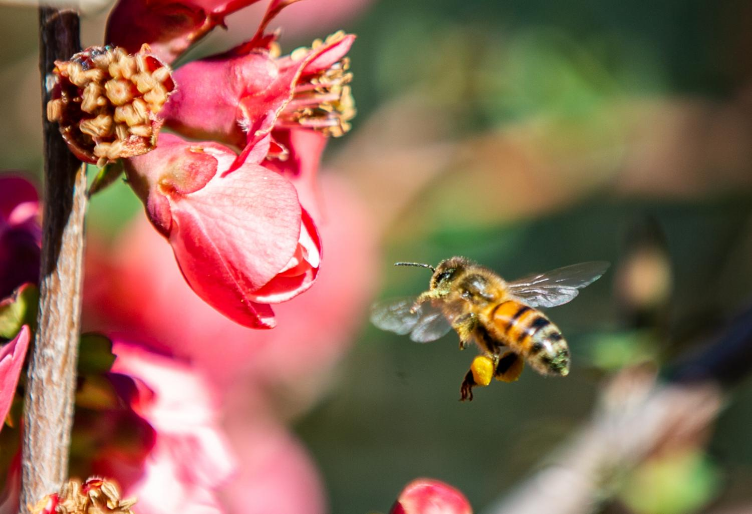 A honey bee gathers pollen from japonica flowers near Lake George NSW. Photo credit: AJ Macpherson.