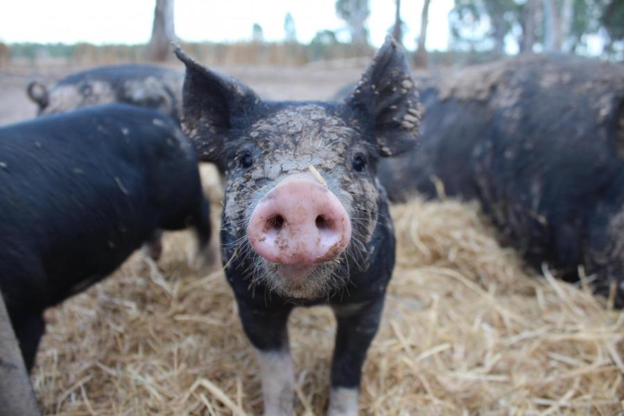 Biogas technology makes a lot of sense in an agricultural context, due to the abundance of biological feedstock – in other words, poo. The heat that is produced as a byproduct of the process can be used back on the farm in various ways. Photo: Charlotte Grieve