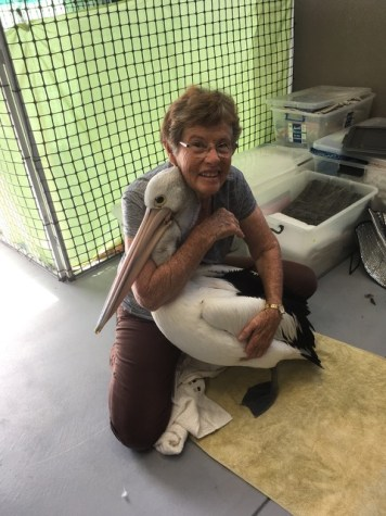 WA Seabird Rescue volunteer Barbara Manson with the injured pelican. Picture credit: Barbara Manson
