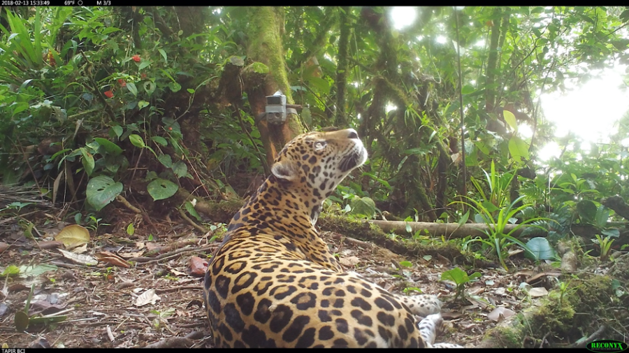 The+Jaguar+%28Panthera+onca%29%3A+One+species+under+direct+threat+of+failing+Biological+Corridors+in+Panama+