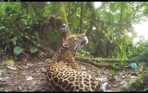 The Jaguar (Panthera onca): One species under direct threat of failing Biological Corridors in Panama