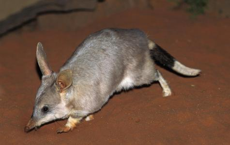 The bilby, quintessentially Australian.