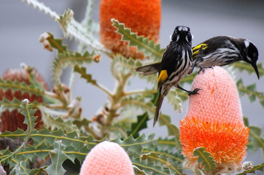 Honey eaters in Australia rely on nectar from eucalyptus trees to survive. Image credit: Murdoch University