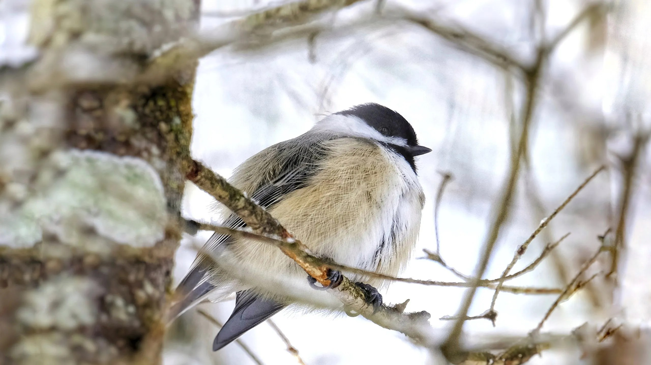 chickadee,bird,winter,forest,nature,trees,branches