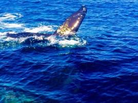 Wale vor Cape Cod