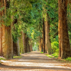 Mental health benefits of being in nature: Tall green forest trees either side of a wide pathway