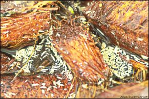 Feed Springtails to small Dart Frogs