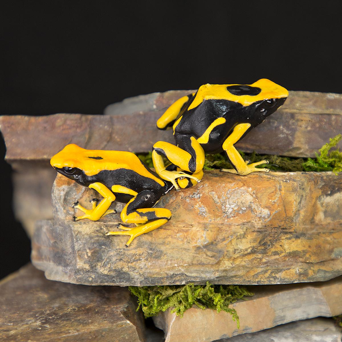 Dendrobates tinctorius 'La Fumee' - Jungle Jewel Exotics
