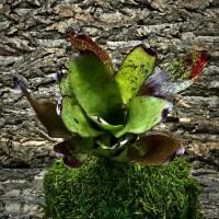 Neoregelia Bromeliad - Olens x Concentrica
