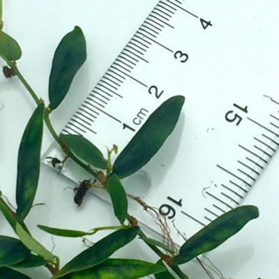 Ficus panama leaf size