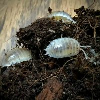 Porcellio Laevis White Isopod in Canada