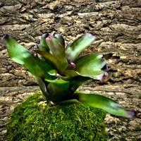 Neoregelia Bromeliad - Fireball x Coriacea