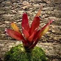 Neoregelia Bromeliad - Sweet Carol
