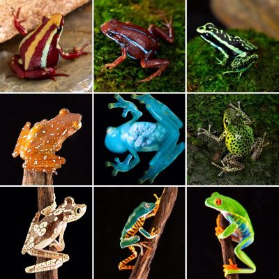 Other Available Frogs in Canada