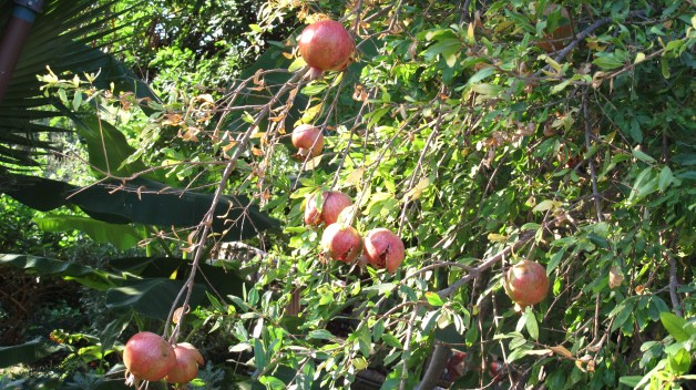 Pomegranates busting out all over the place!