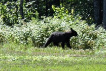 Oh, ein Black Bear! :D