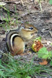 Eines der vielen Streifenhörnchen, die immer mal bei uns vorbeischauten :)