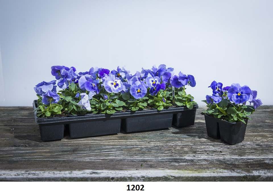 1202 Pansy Image
