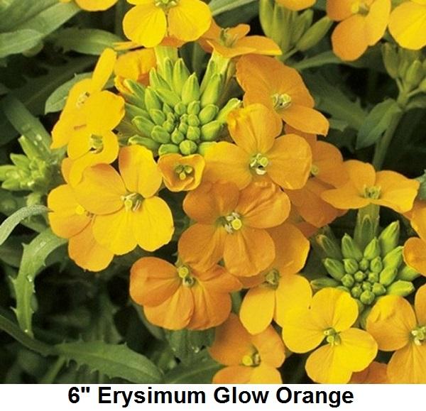 Erysimum Image