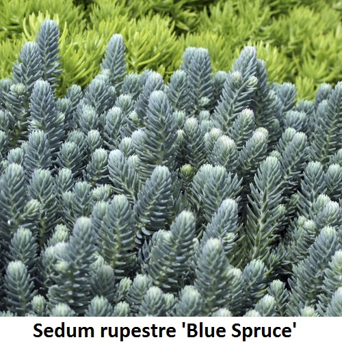 Sedum rupestre 'Blue Spruce' Image