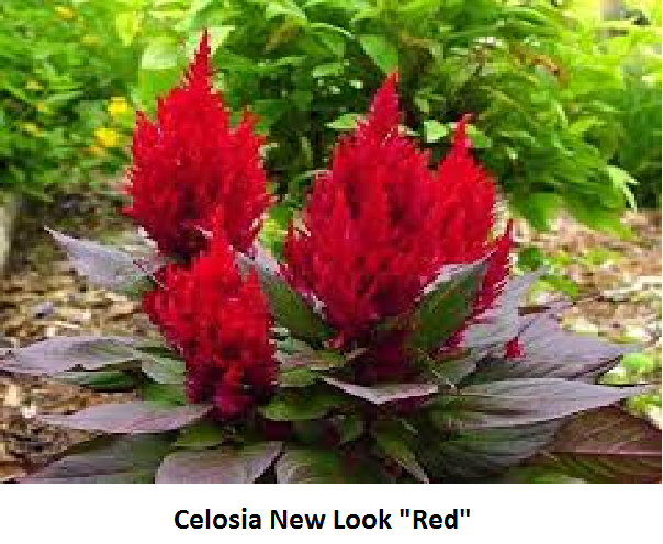 Celosia New Look Image