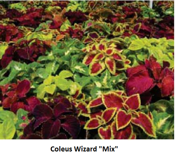 Coleus Wizard Mix Image