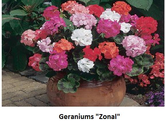 Geranium Zonal PF Image
