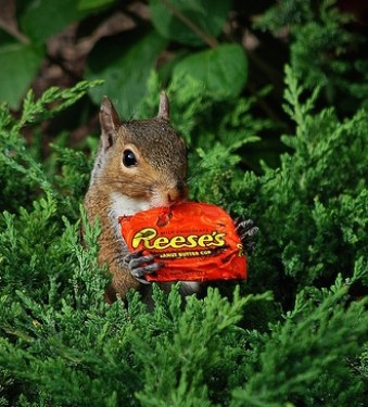 Squirrel Eating Reese's Cup