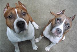 staffordshire-terriers in the Junkyard Junkies Facebook Photo Contest