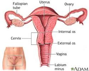 uterus-images