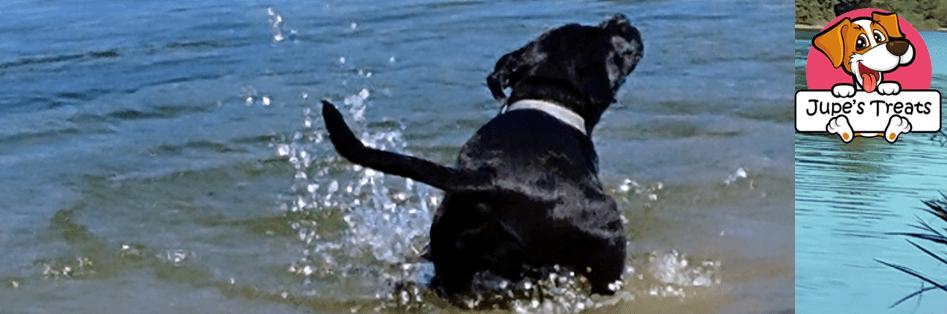 pitbull dog at lake codorus
