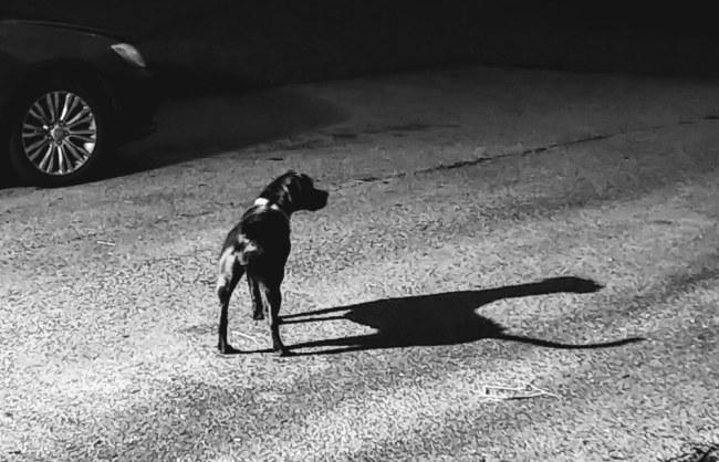 Artemis and her shadow watching goats graze across the street.