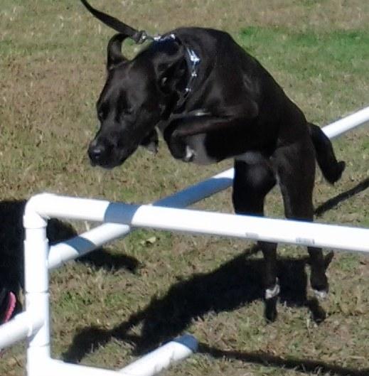 A dog jumping hurdles.