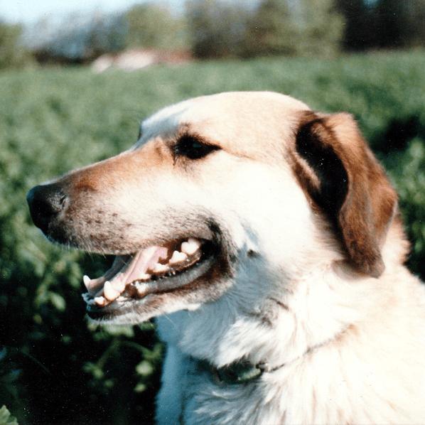 Jenny the Beagle