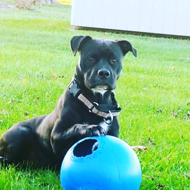 Staffordshire Terrier with a ball