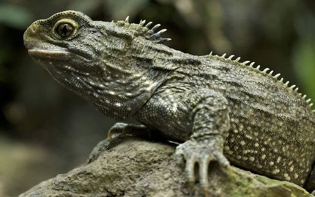"""Reptiles & Amphibians: In its native New Zealand, Sphenodon is known as a Tuatara meaning """"peaks on the back""""."""