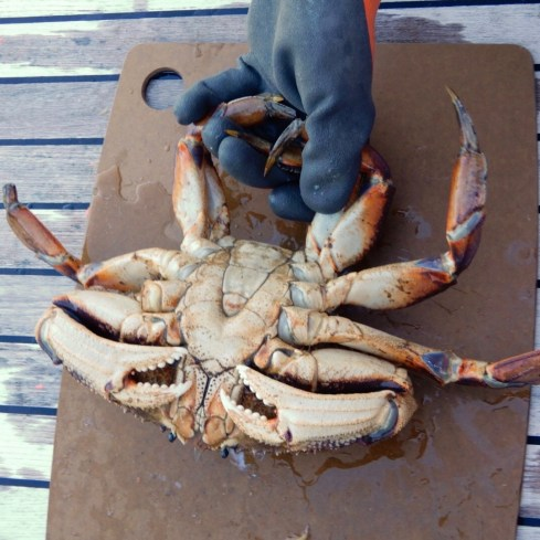 Lay the crab on his back and stun with a sharp blow. The proper hold keeps one (relatively) safe from the pincers.
