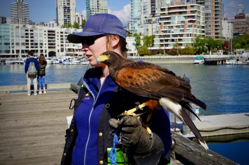 Lulu the ScareHawk whose job is to intimidate bothersome seagulls on the quay