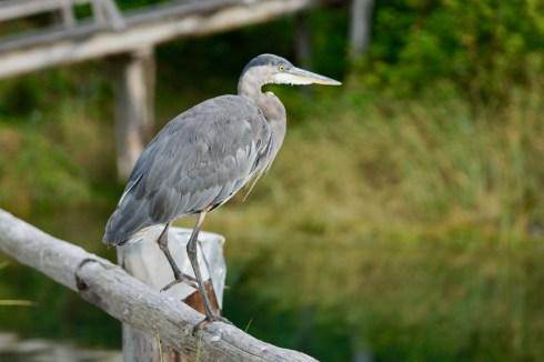 Ardea herodias: Juvenile Great Blue Heron.