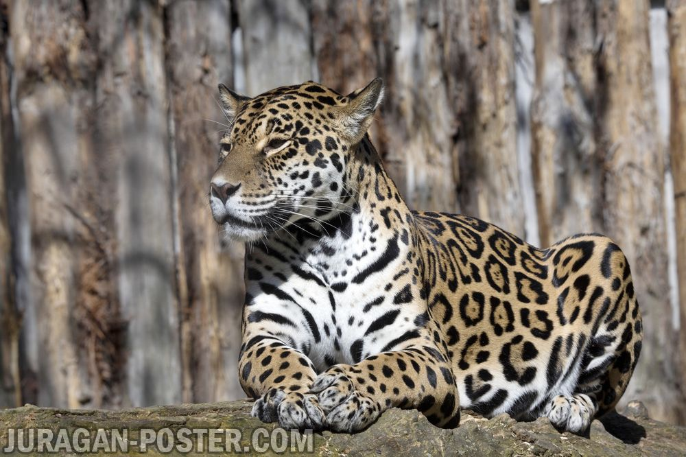 Cheetah Jual Poster Di Juragan Poster